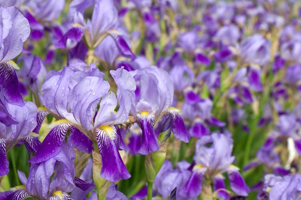 A beautiful field of flowering purple irises.