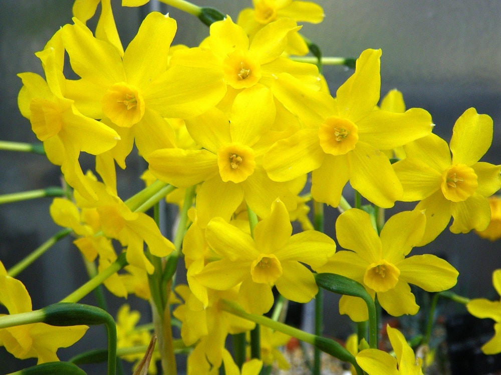 A bunch of sunny yellow jonquil flowers.