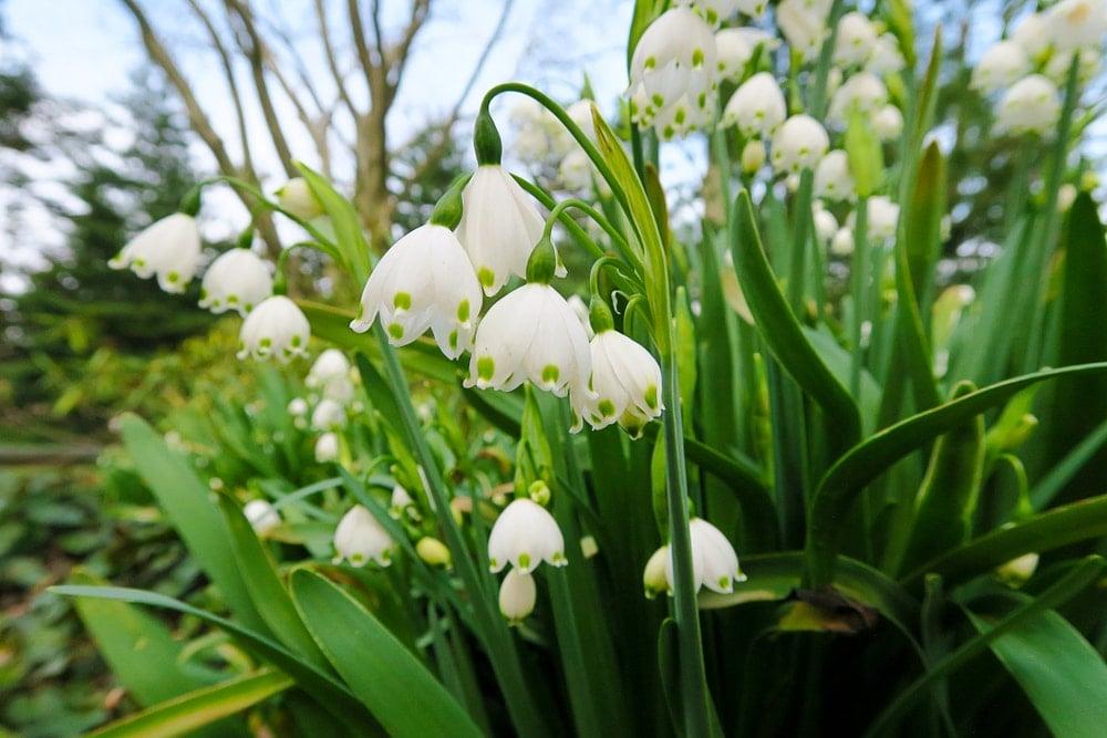 A leucojum flower or spring snowflake in full bloom.