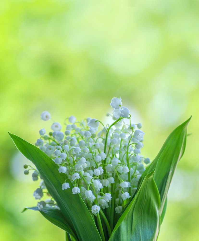 A close view of the gorgeous lilly of the valley flowers.