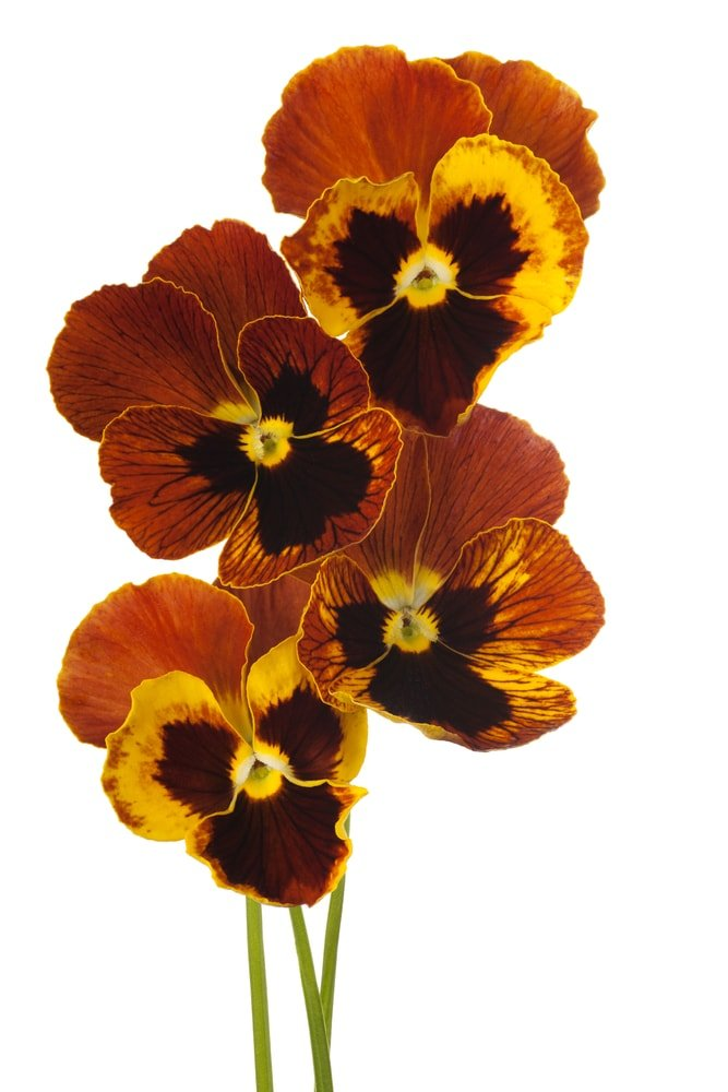 A vibrant cluster of pansies on a white background.