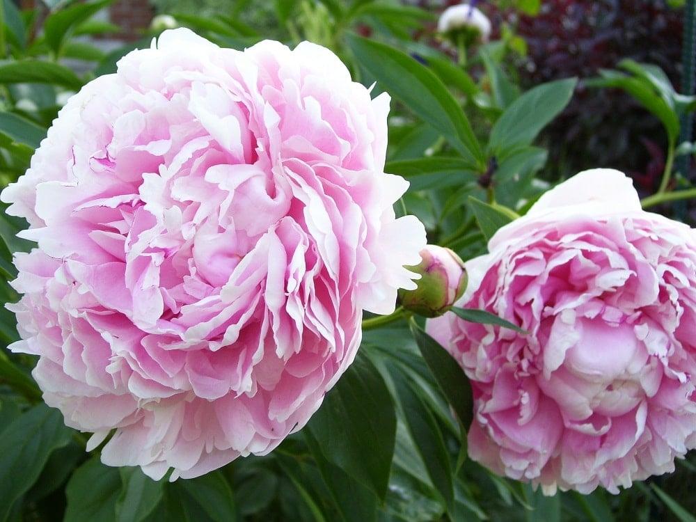 A pair of beautiful pink peonies.