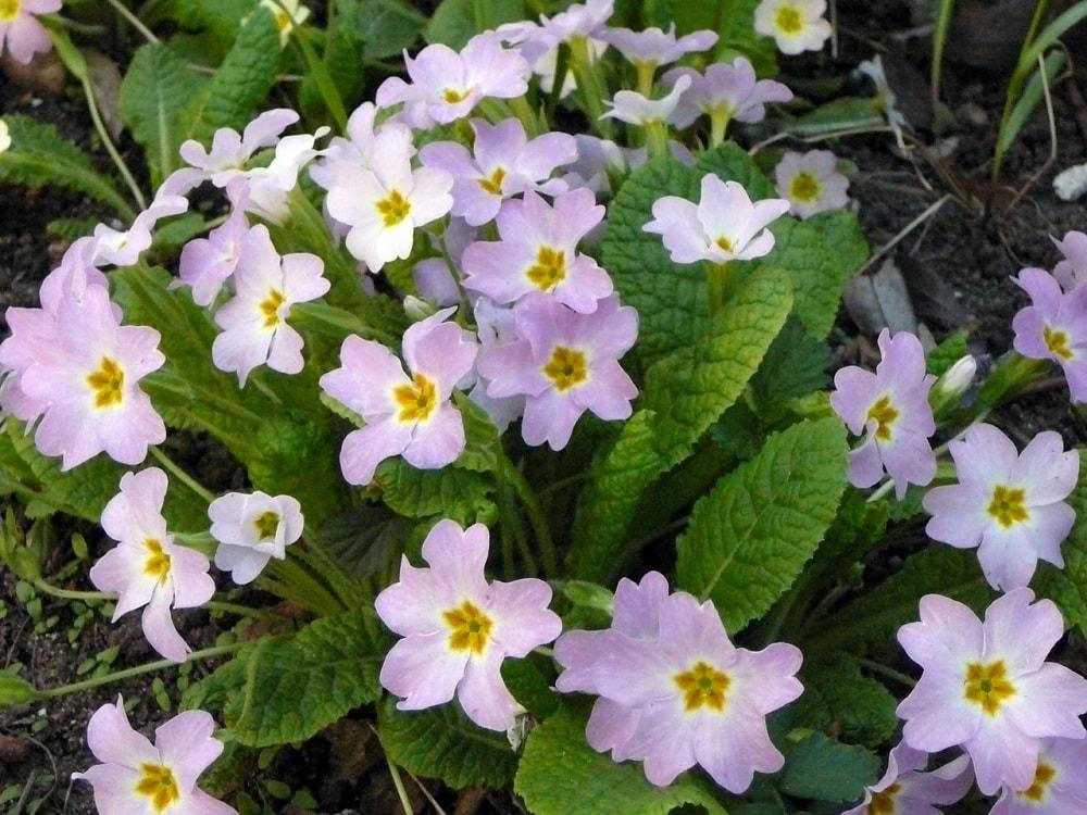 A cluster of beautiful purple primrose.