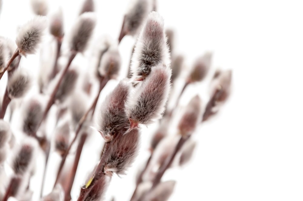 A cluster of beautiful pussy willow flowers in bloom.