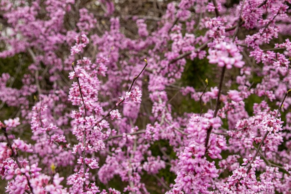 A close up of a redbud tree in full bloom.