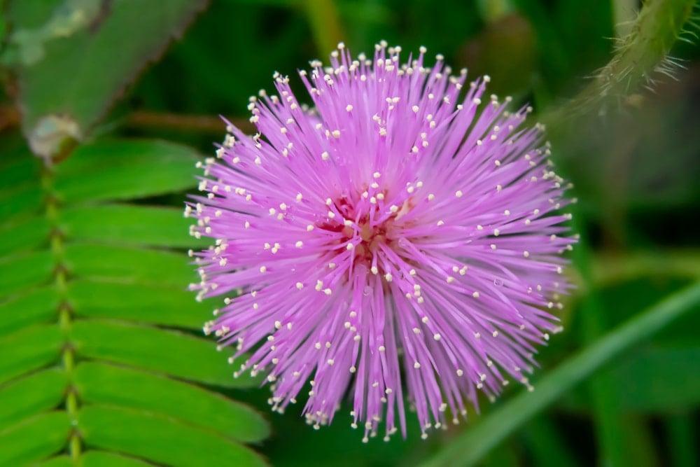 A beautiful purple sensitive mimosa flower.