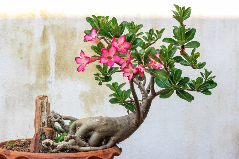 A gorgeous desert rose planted on a pot.