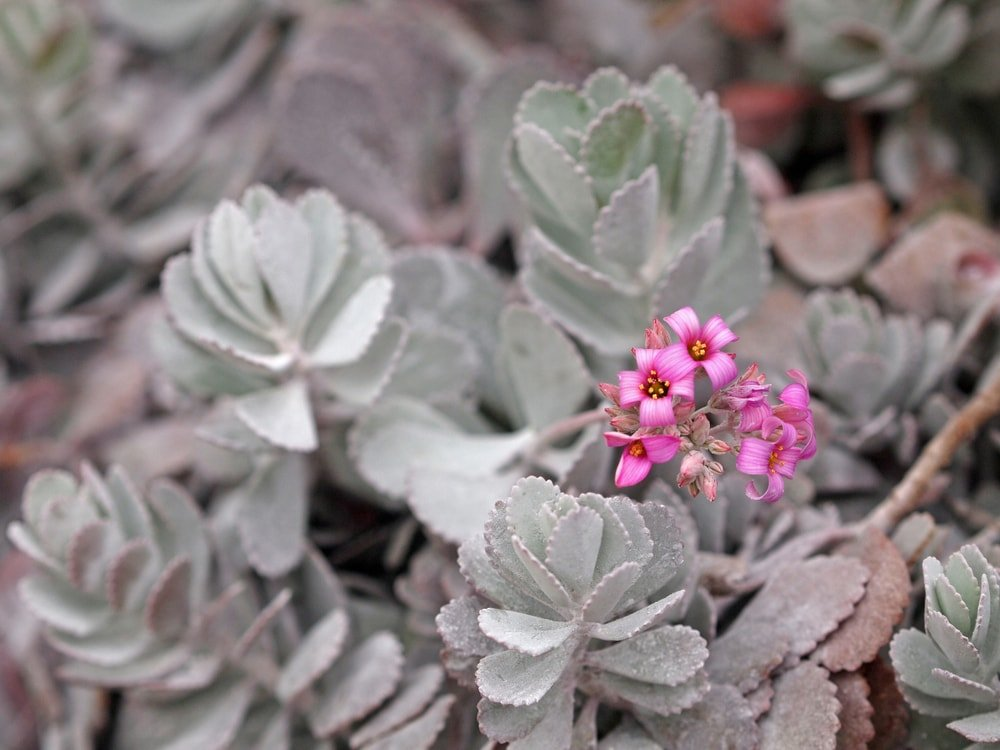 A flower dust succulent with a cluster of small pink flowers.