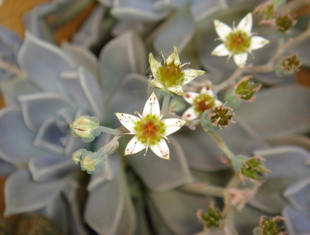 A cluster of small and beautiful flowers of the ghost plant succulent.