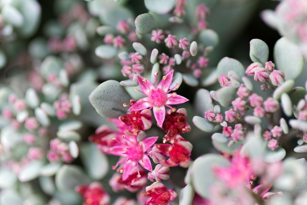 A close inspection of the lovely pink flowers of the october plant succulent.