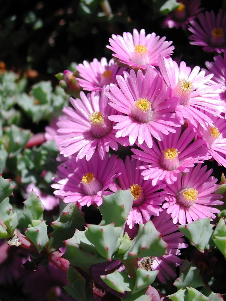 A cluster of gorgeous pink iceplant succulents.