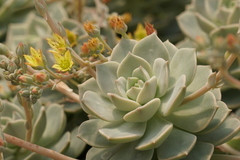 A close look at the porcelain plant succulent with small flowers on the side.