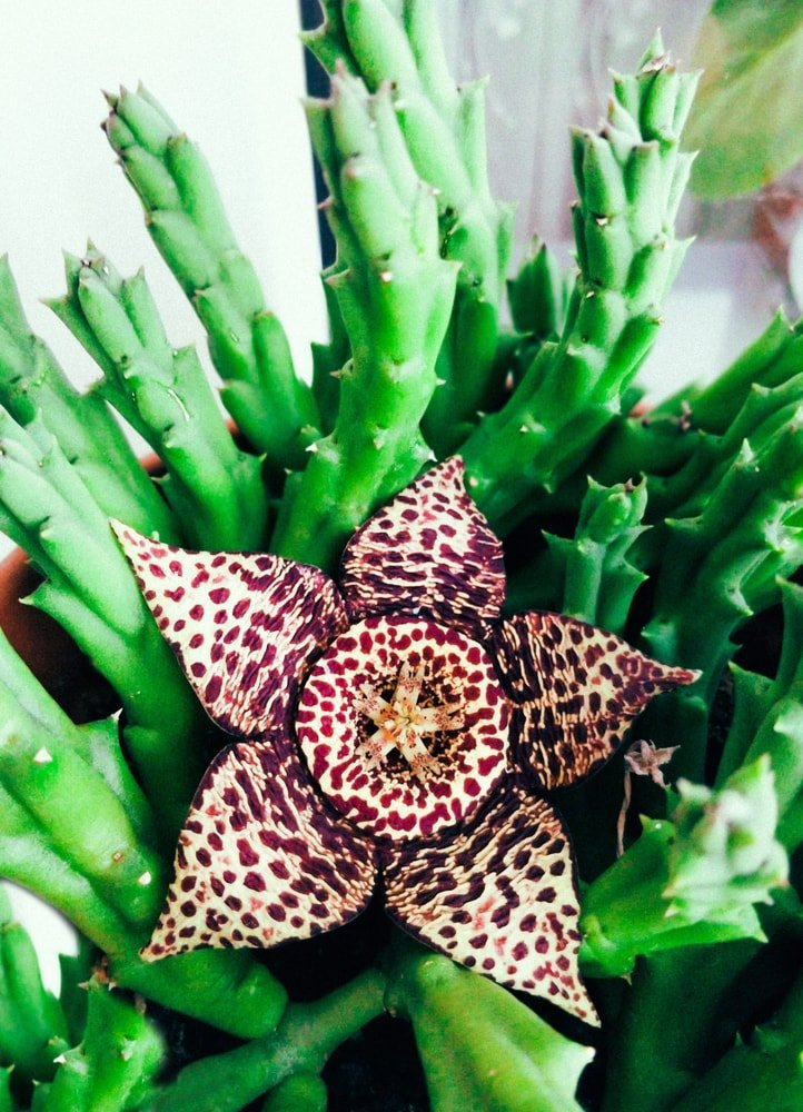 A beautiful blooming star flower succulent on a pot.