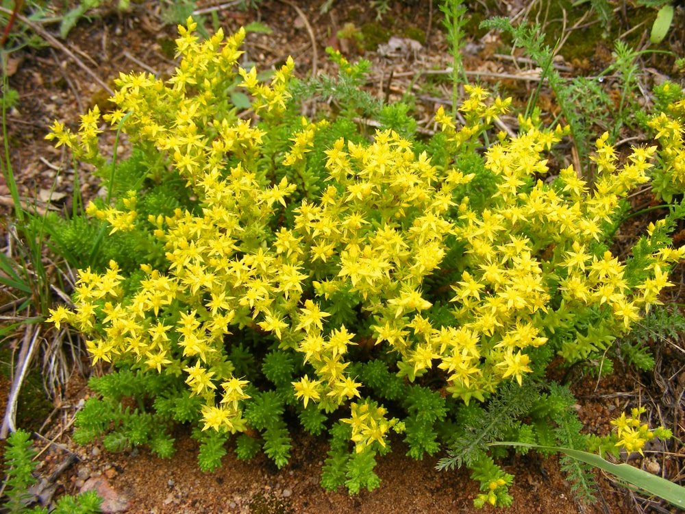 A beautiful garden of bright yellow stonecrop flowers.
