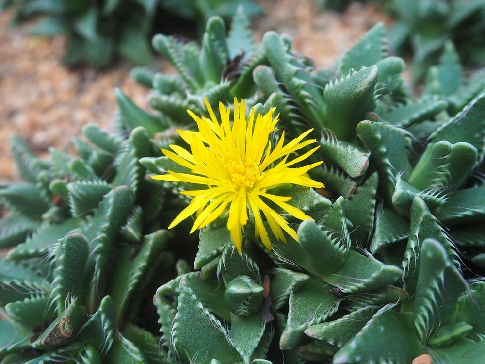 A cluster of tiger's jaw succulents with a single bright yellow flower.