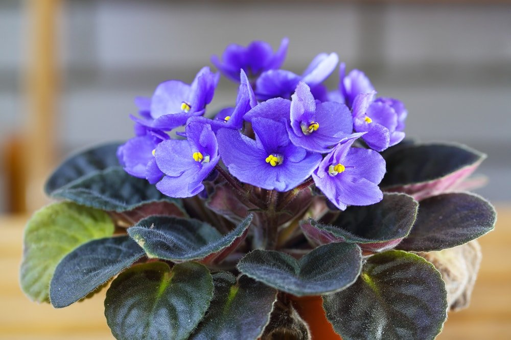 A close up of a gorgeous African violet.