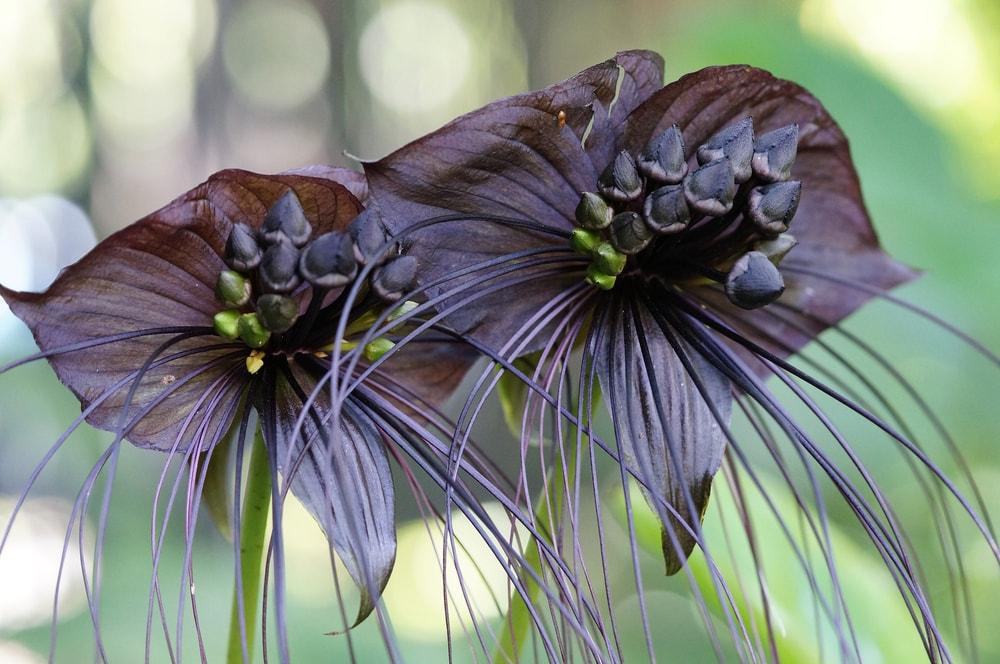 A close look at a couple of unique bat flowers.