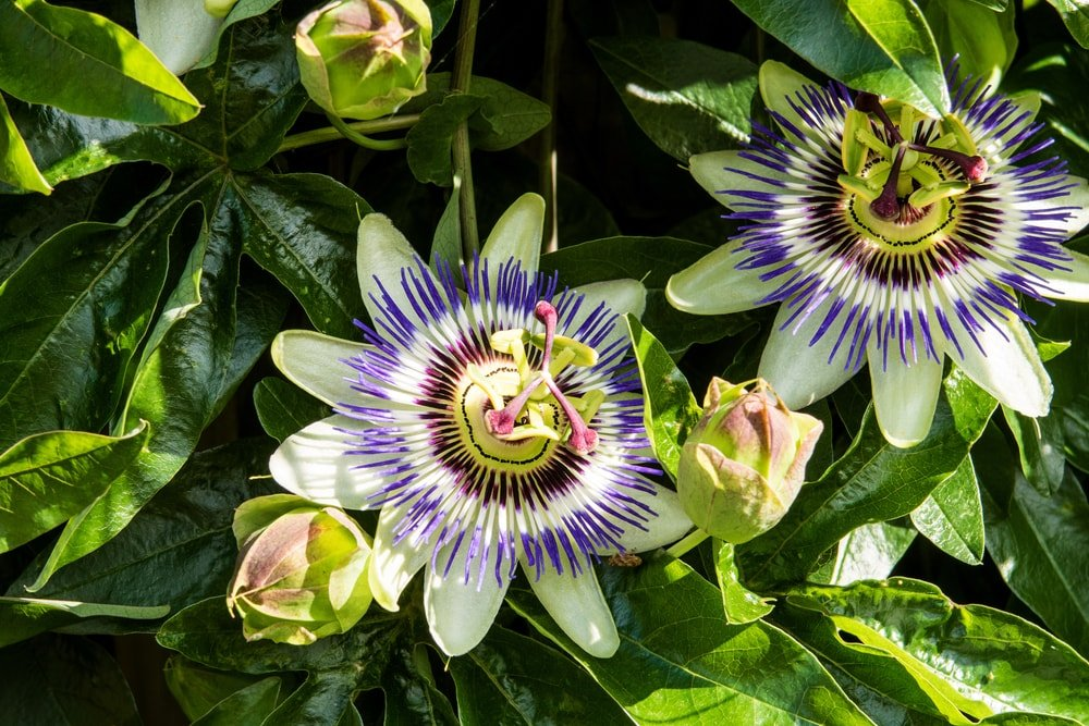 A close inspection of a blue passion flower.