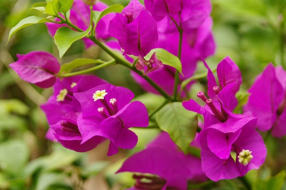A close up of deep purple bougainvilleas.
