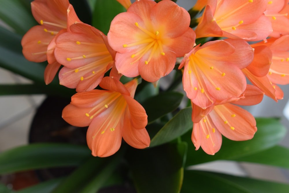 This is the orange blooming clivia flower.