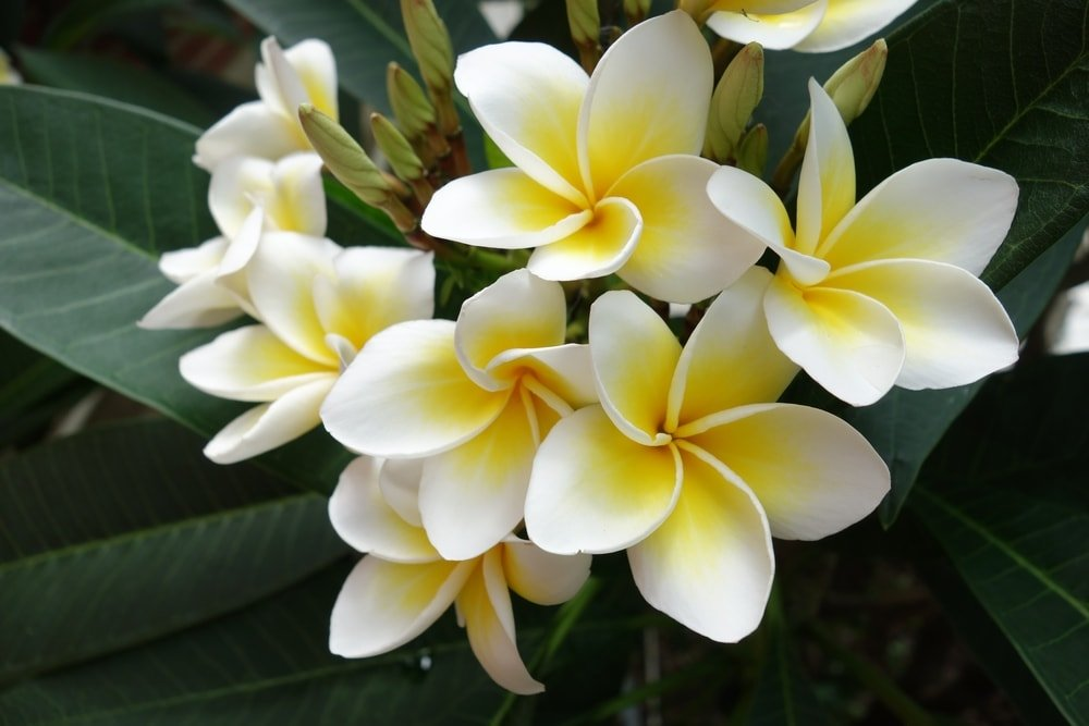 A cluster of lovely frangipani flowers.