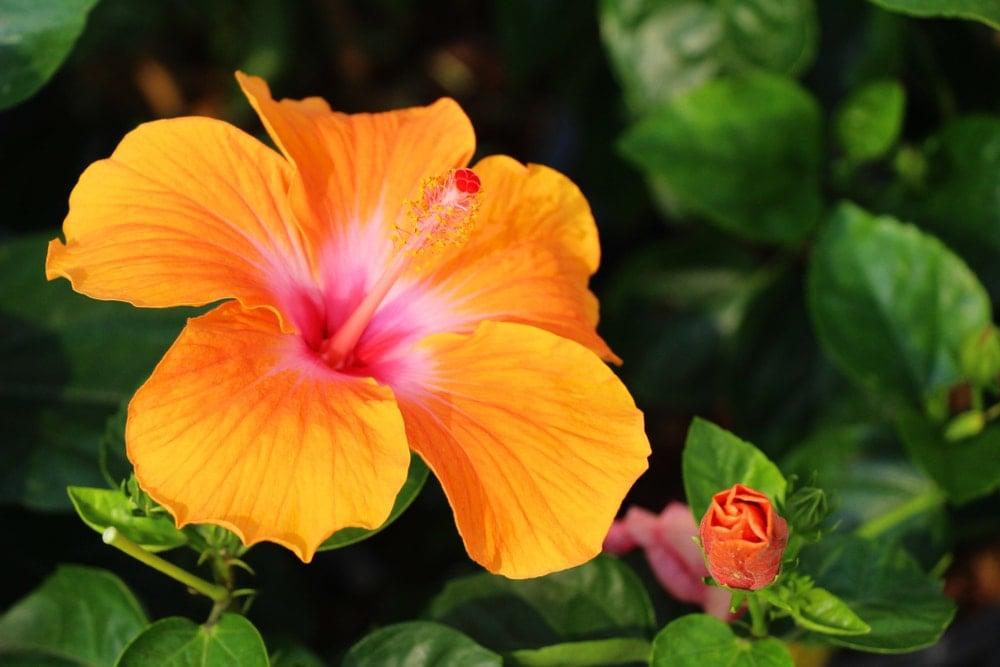 A beautiful orange hibiscus flower.