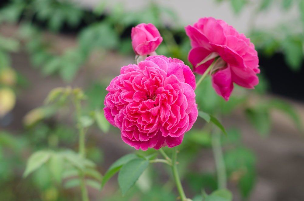 A close up look at the beautiful lokelani flower.