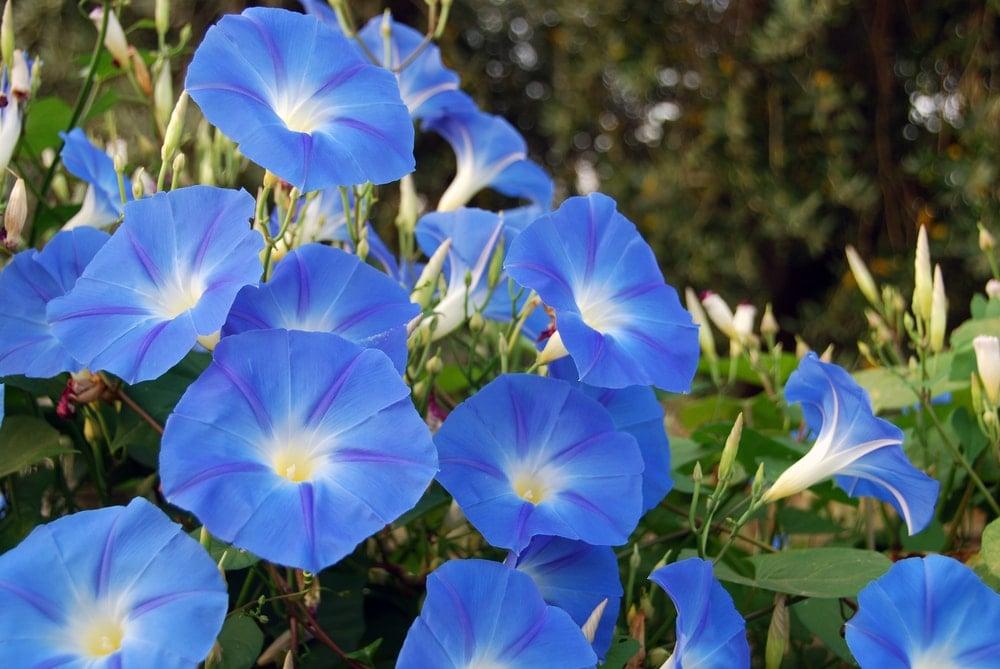 A bunch of beautiful sky blue morning glory flowers.