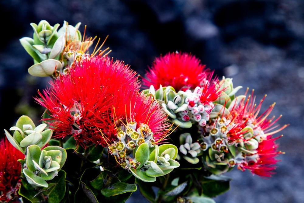 A cluster of colorful ohia lehua flowers.
