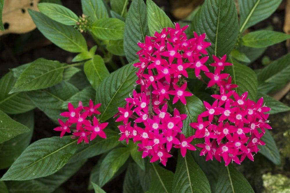 A bunch of beautiful penta flowers.