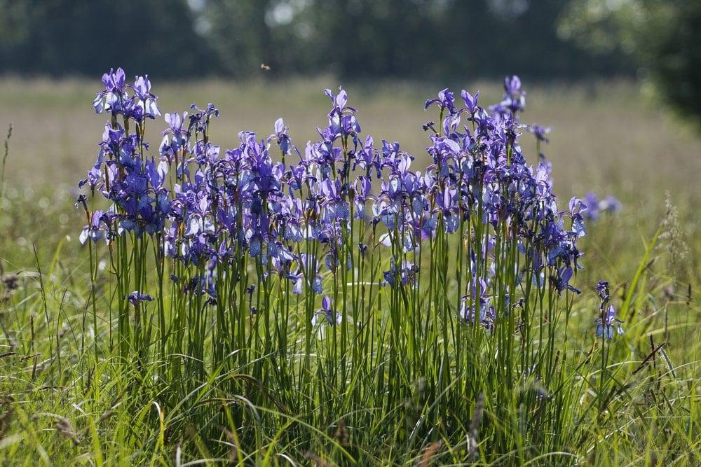 Siberian Iris(Iris sanguinea)