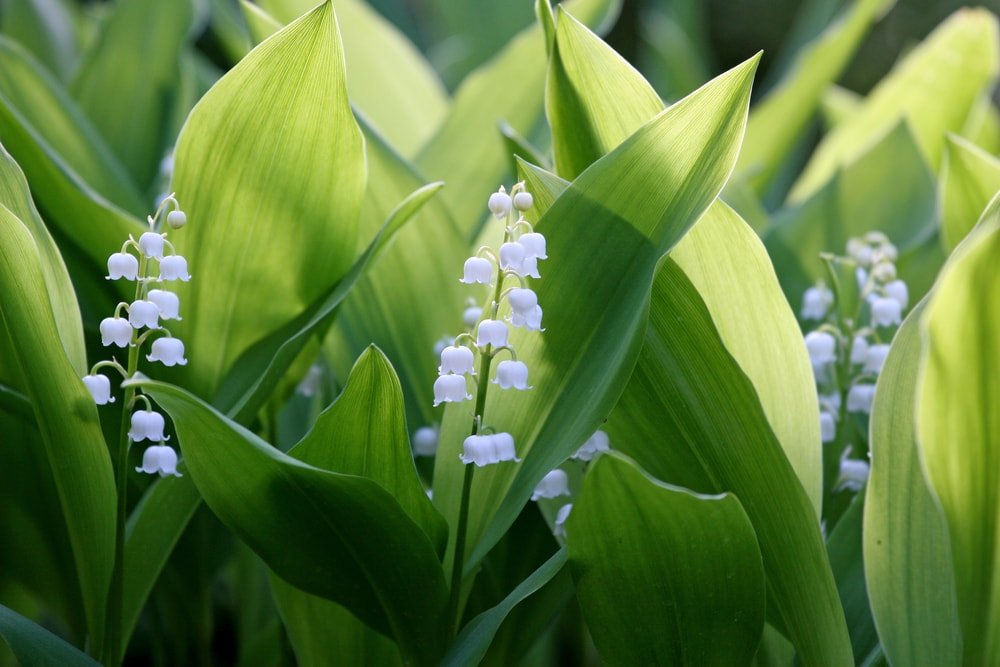 Lily of the Valley(Convallaria majalis)
