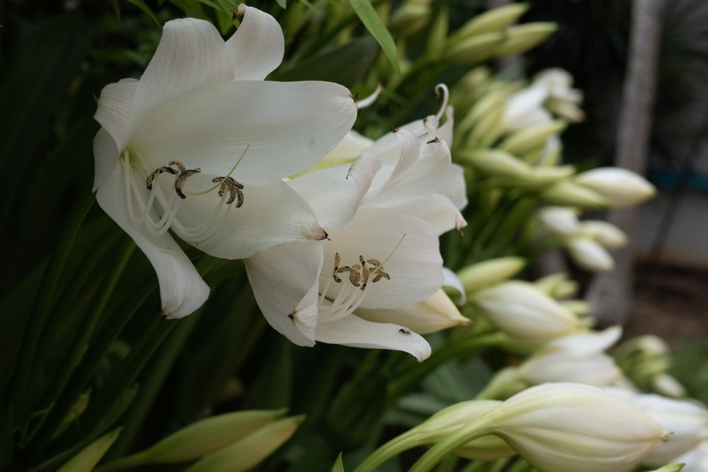Natal Lily (Crinum moorei)