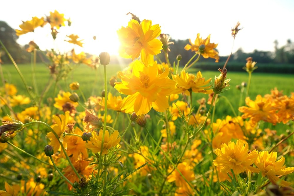 Swamp Sunflower (Helianthus salicifolius 'First Light')