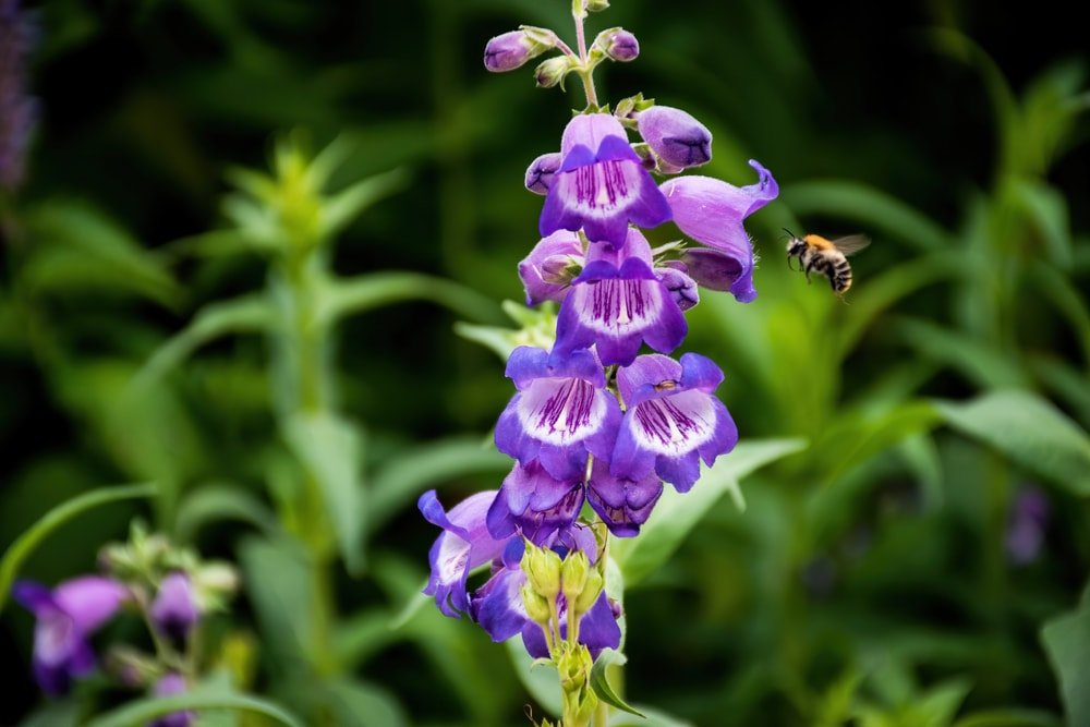 A beautiful cluster of beardtongue flowers.
