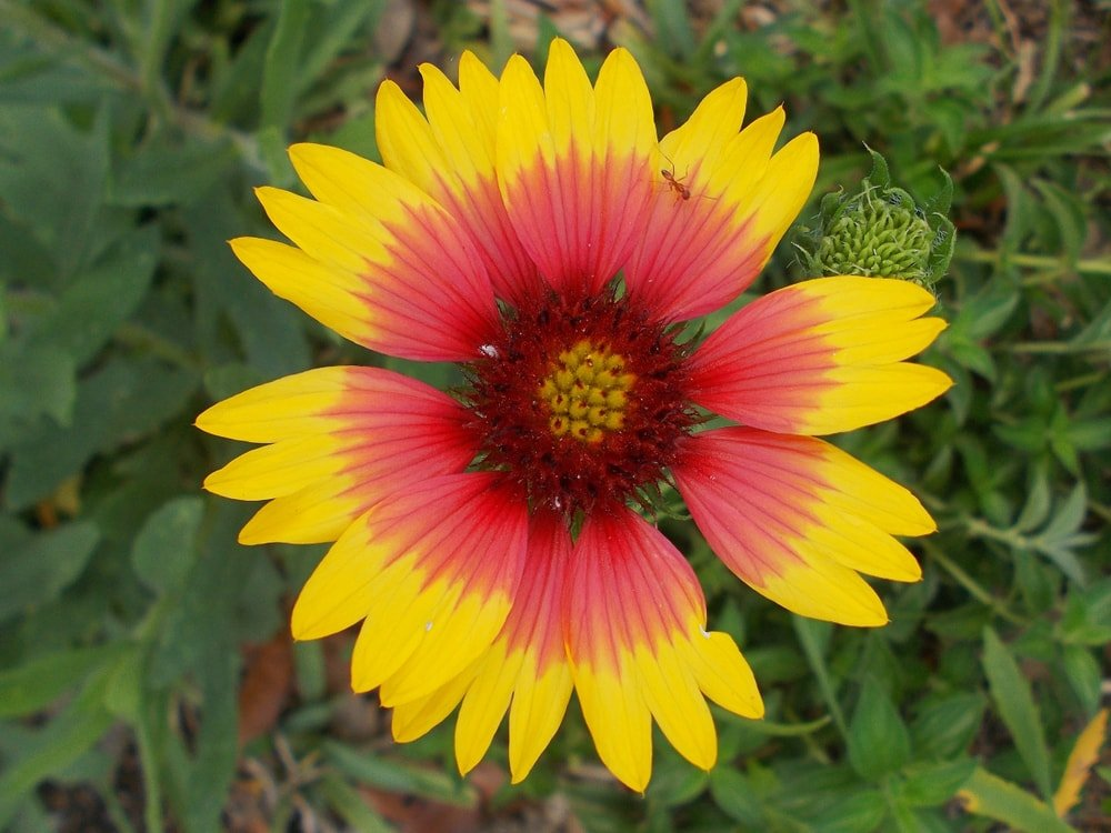 A close inspection of a blanket flower.