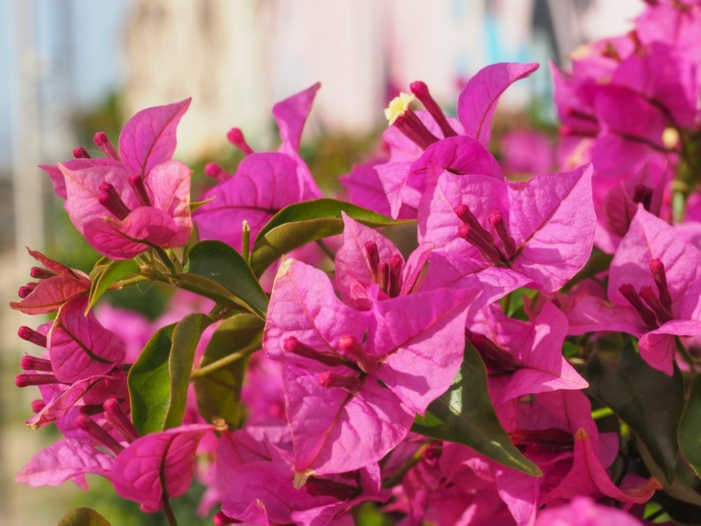 A close up of beautiful bougainvilleas.