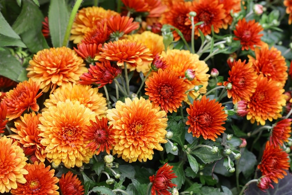 A bunch of red orange chrysanthemums.