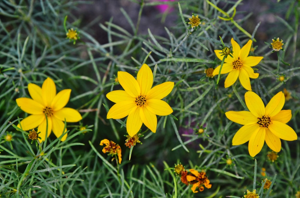 A close look at a few coreopsis flowers.