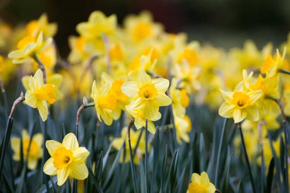 A garden of sunny yellow daffodils.