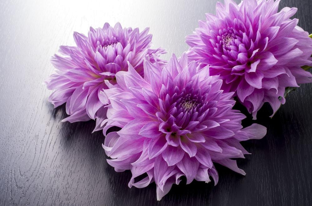 A close up of a few gorgeous purple dahlias.