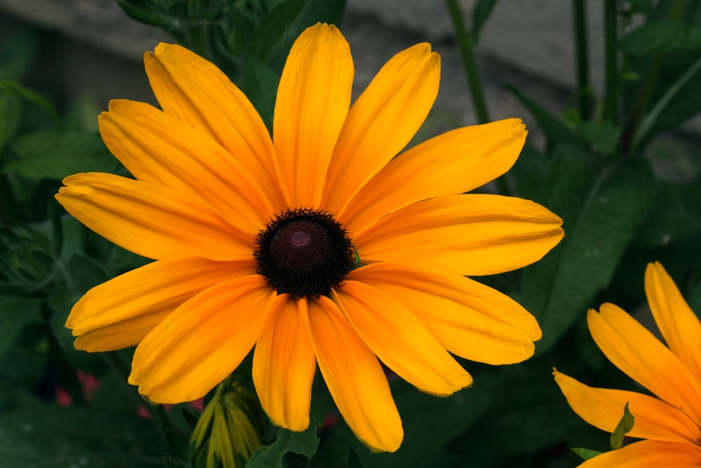 A close look at a gloriosa daisy in full bloom.