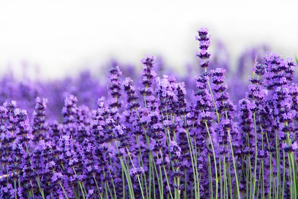 A close up of a lavender field.