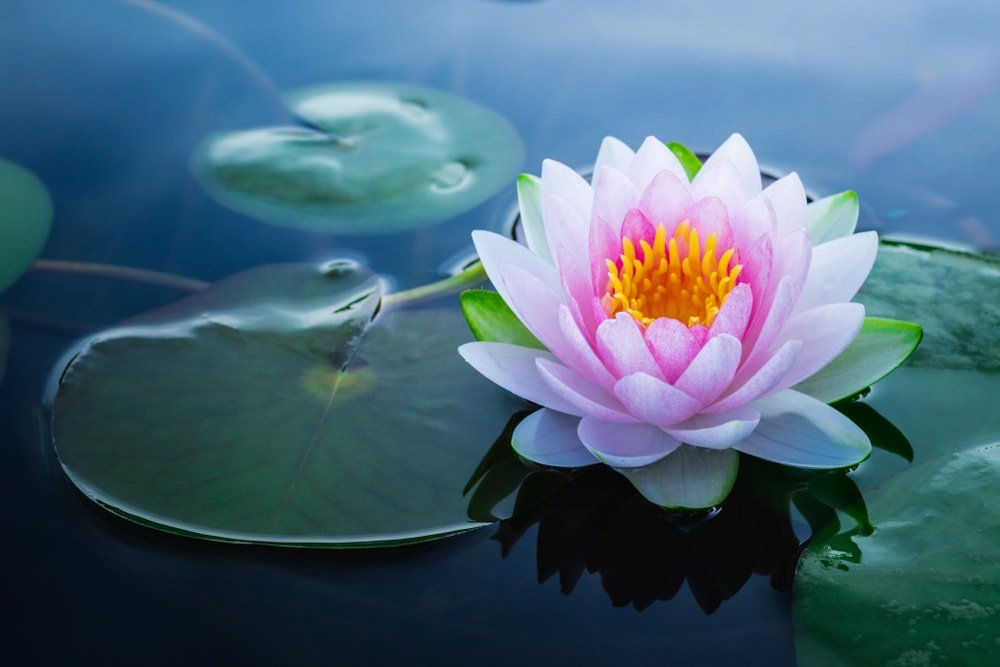 A beautiful pink lotus flower on a pond.