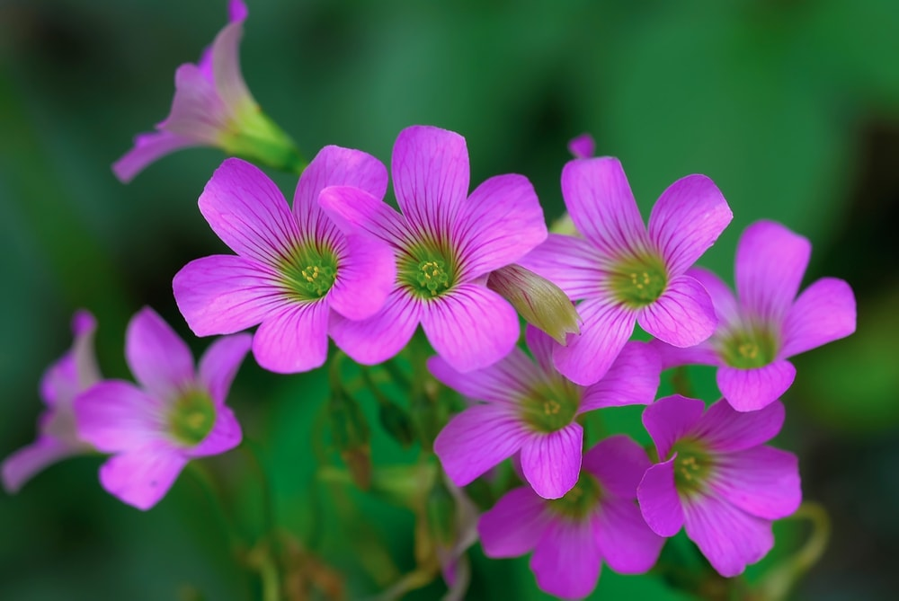 A bunch of beautiful blooming oxalis flowers.