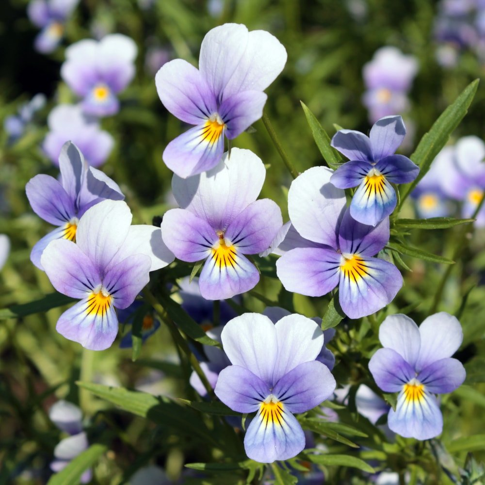 A cluster of charming pansies in a garden.