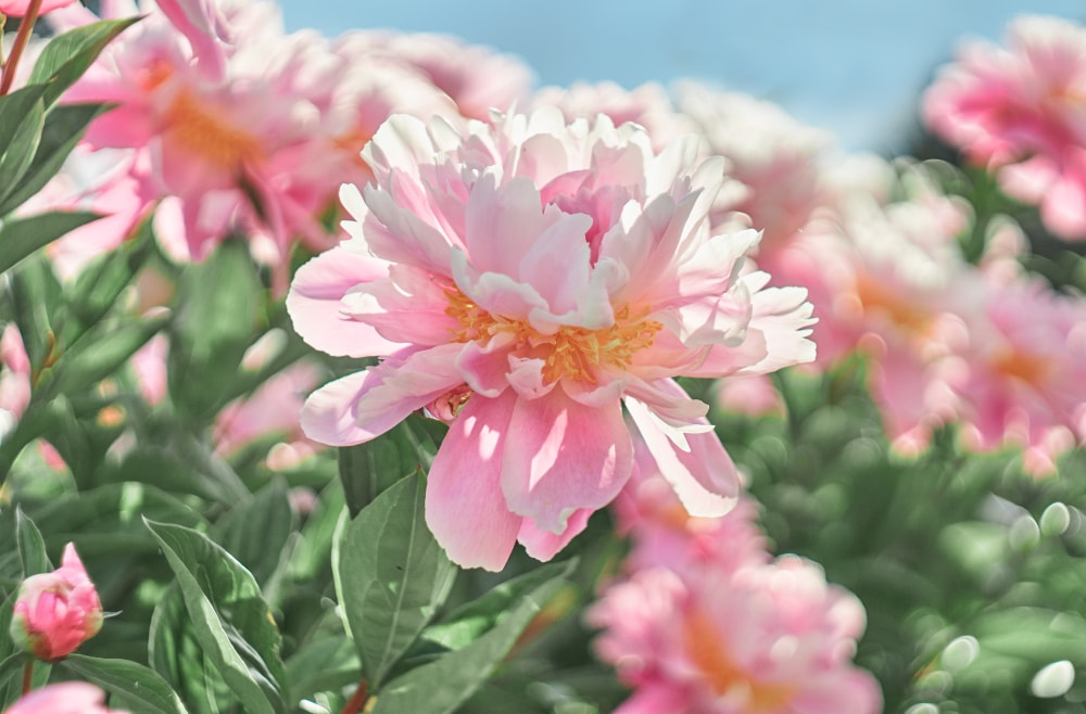 A group of beautifully blooming pink peonies.