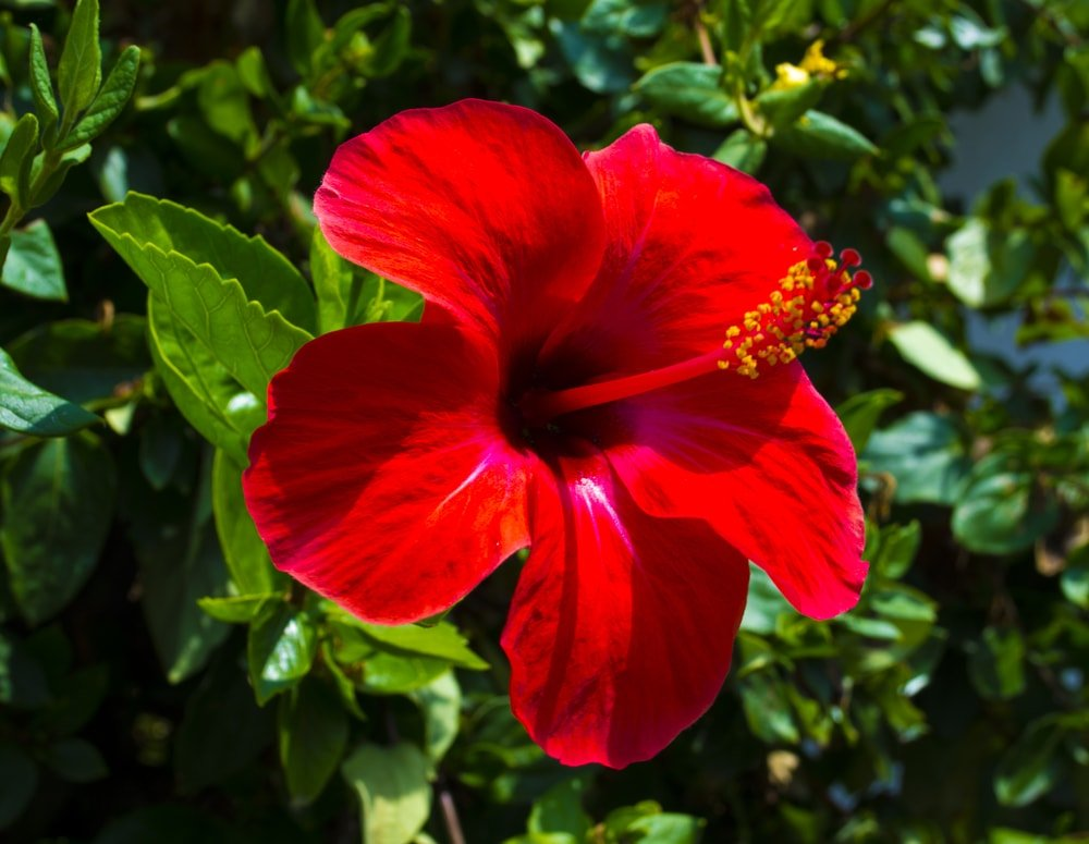 A single vibrant red hibiscus against a background of green leaves.