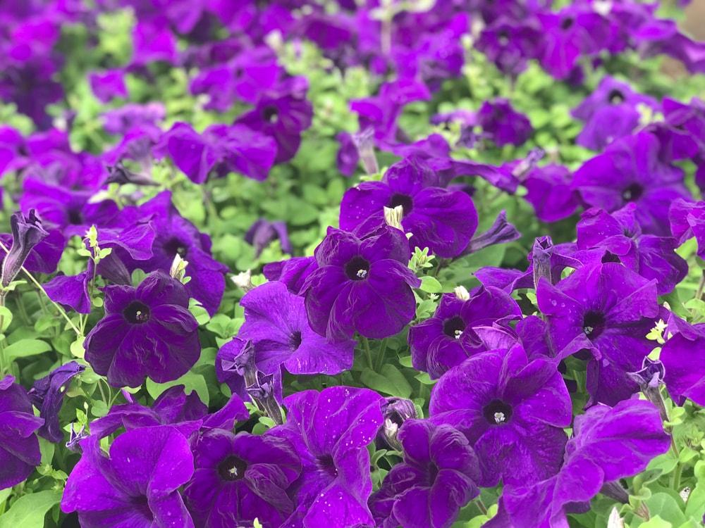 A garden of deep purple petunias.