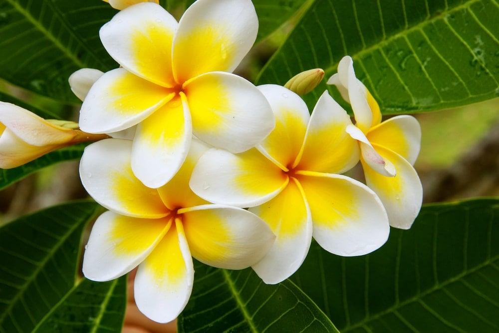 A brilliant cluster of plumeria flowers.